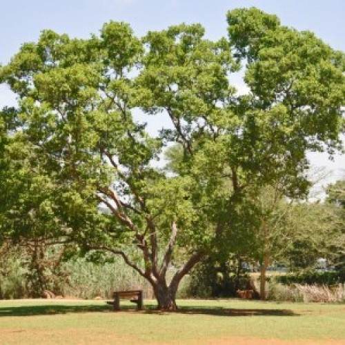 River Bush Willow - Combretum erythrophyllum