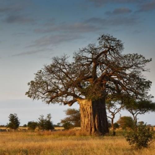 Baobab Tree - Adonsonia digitata
