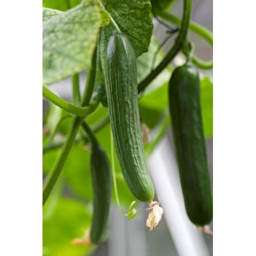 Beit Alpha Cucumber