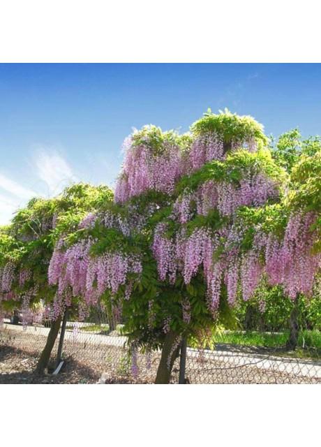 Tree Wisteria - Bolusanthus specious