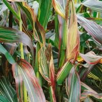 Japonica Striped Corn