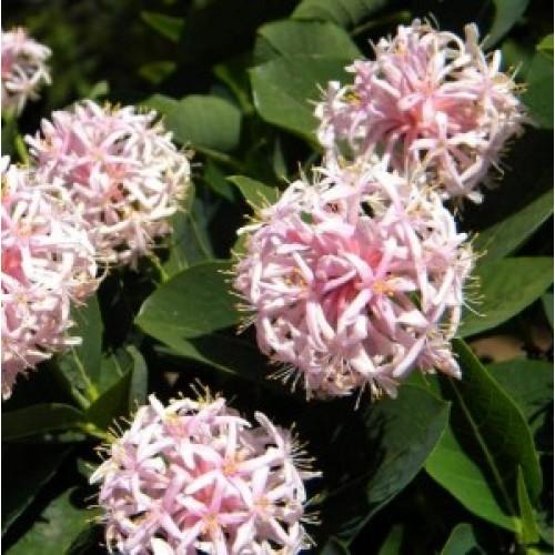 PomPom Tree - Dias cotonifolia