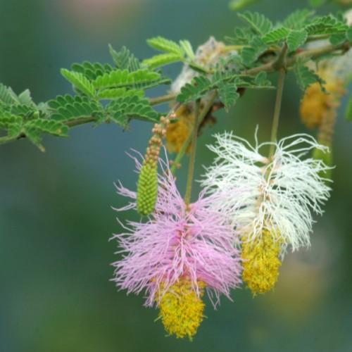 Kalahari Christmas Tree - Dichrostachys cinerea