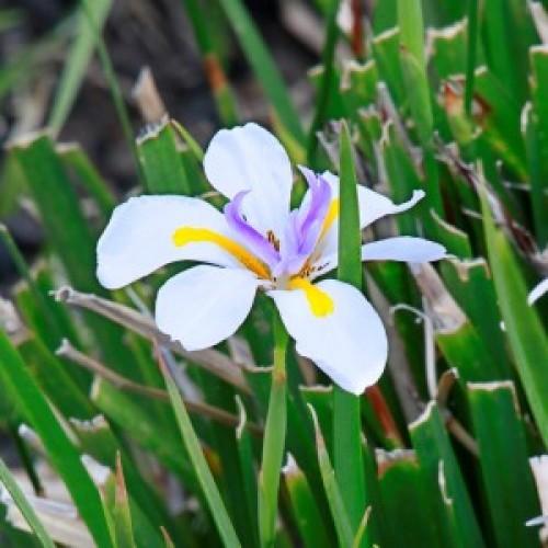 Peacock Iris - Dietes bicolour