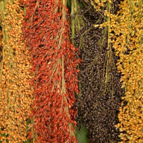 Multi Color Broom Corn