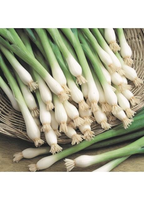 Tokyo Long White Onion