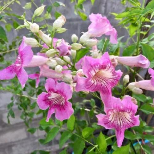 Pink Trumpet Vine - Podranea ricasoliana