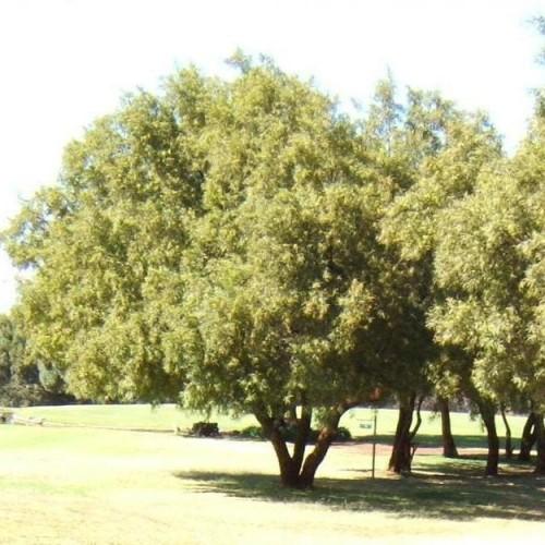 Mountain Karee - Searsia leptodictya