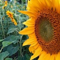 Black Russian Sunflower