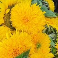 Giant Teddy Bear Sunflower