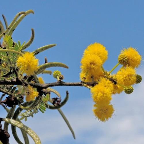 Sweet Thorn - Vachellia karroo