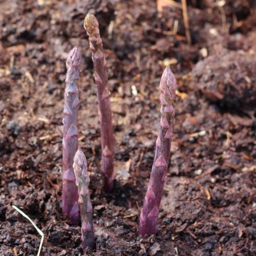 Sweet Purple Asparagus