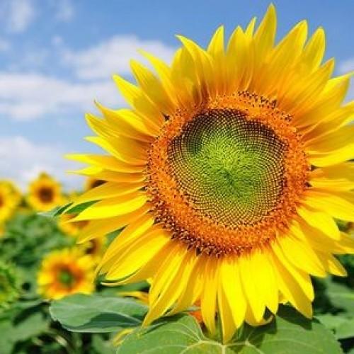 Tarahumara White Seeded Sunflower