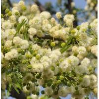 Broadpod Robust Thorn - Vachellia robusta