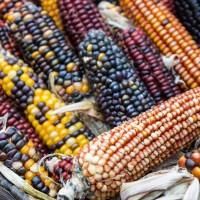 Wampum Ornamental Corn